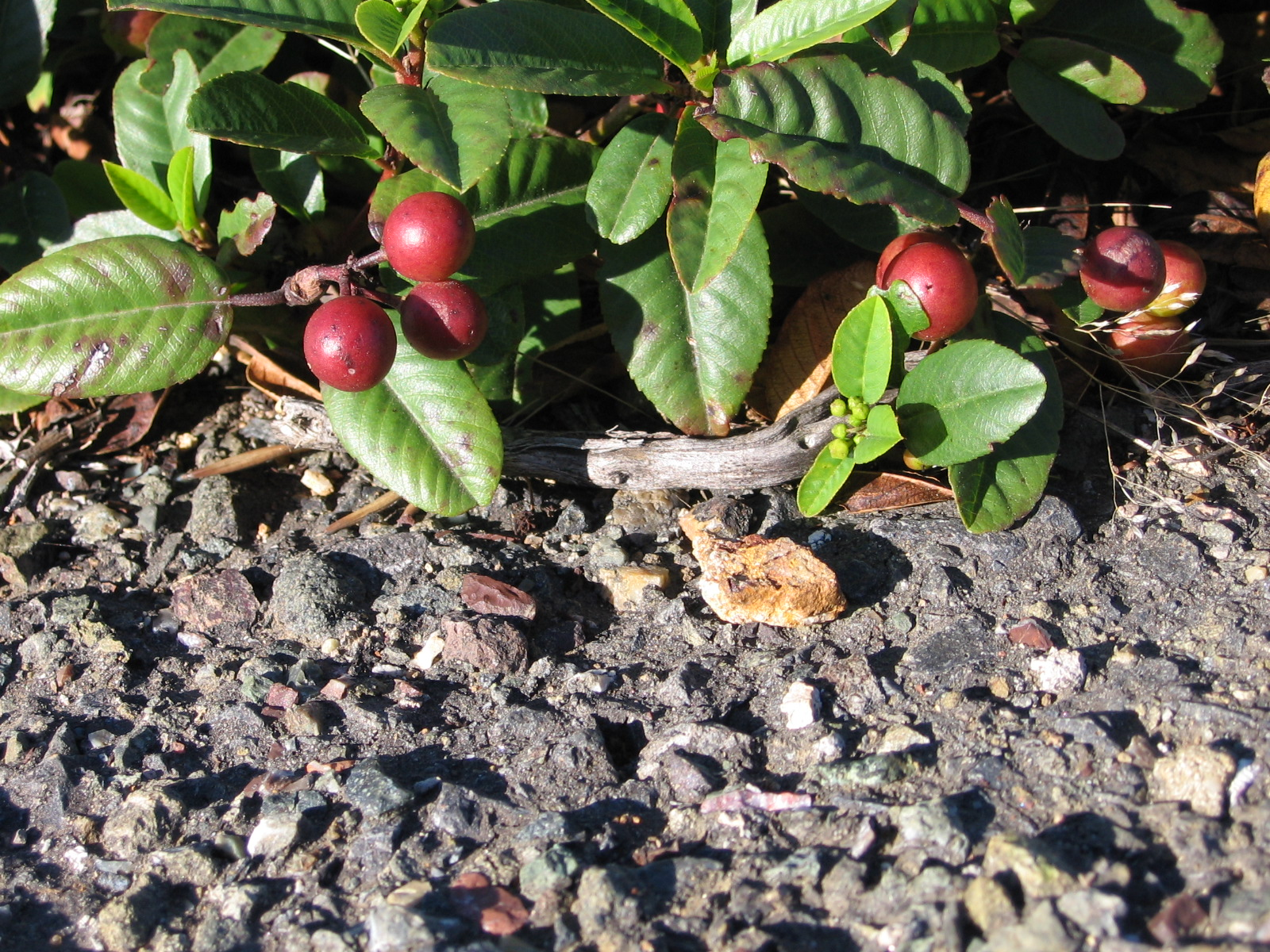Coffeeberries on Asphalt