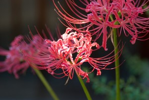 red_spider_lily1