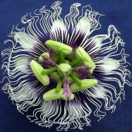 passion flower sleep aid