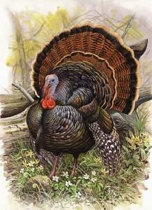 Wild-Turkey-