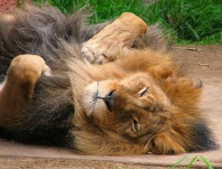 sleeping-lion-lucid-postures